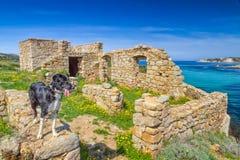 博德牧羊犬在可西嘉岛的海岸的废墟站立 免版税库存照片
