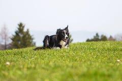 博德牧羊犬在山草甸说谎 图库摄影