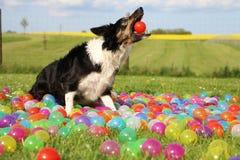 博德牧羊犬在庭院里 免版税图库摄影