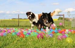博德牧羊犬在庭院里 免版税库存照片