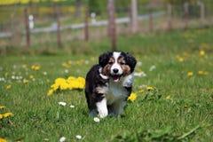 博德牧羊犬在庭院里 免版税库存图片