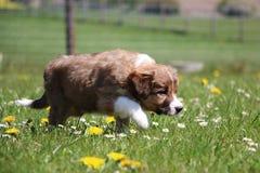 博德牧羊犬在庭院里 库存照片