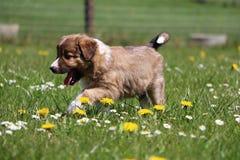 博德牧羊犬在庭院里 库存图片