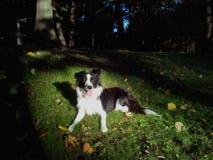 博德牧羊犬在森林 免版税图库摄影