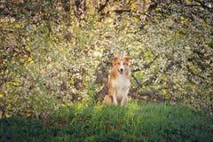 博德牧羊犬狗画象在春天 免版税图库摄影