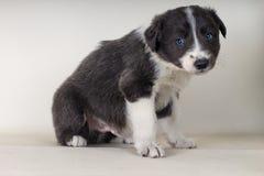 博德牧羊犬坐与下来蓝眼睛可爱的狗- tex空间的地板 免版税库存照片