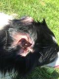 博德牧羊犬奇怪的耳朵 库存图片