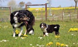博德牧羊犬小狗和她的妈妈 免版税库存图片