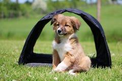 博德牧羊犬小狗在庭院里坐 库存图片