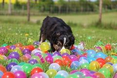 博德牧羊犬小狗在庭院里 图库摄影