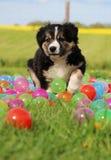 博德牧羊犬小狗在庭院里 免版税图库摄影