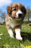 博德牧羊犬小狗在庭院里 库存图片