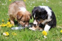 博德牧羊犬小狗在庭院里 免版税库存照片