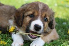 博德牧羊犬小狗在庭院里 免版税库存图片