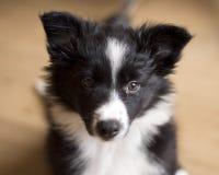 博德牧羊犬小狗摆在的画象 免版税库存图片