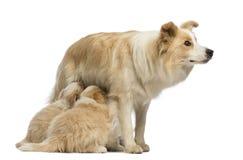 博德牧羊犬小狗, 6个星期年纪,哺乳母亲博德牧羊犬, 2.5岁 库存图片