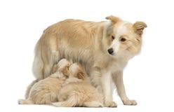 博德牧羊犬小狗, 6个星期年纪,哺乳母亲博德牧羊犬, 2.5岁 免版税库存图片