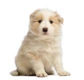 博德牧羊犬小狗, 6个星期年纪,坐和看照相机 免版税图库摄影