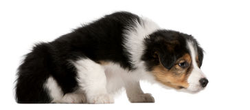 博德牧羊犬小狗, 6个星期年纪,坐 库存图片