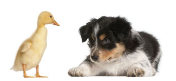 博德牧羊犬小狗, 6个星期年纪 免版税库存图片