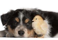 博德牧羊犬小狗, 6个星期年纪 免版税库存照片