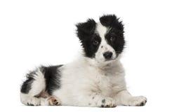 博德牧羊犬小狗(10个星期年纪) 免版税库存照片
