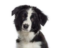 博德牧羊犬小狗(4个月)的特写 库存图片