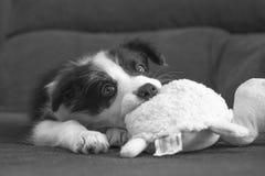 博德牧羊犬小狗 库存照片