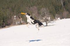 博德牧羊犬抓住飞行飞碟 免版税库存图片