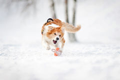 博德牧羊犬捉住一个玩具的狗运行中在冬天 库存照片
