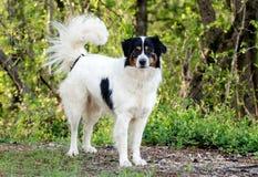 博德牧羊犬澳大利亚牧羊人被混合的品种狗 库存照片