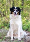 博德牧羊犬澳大利亚牧羊人被混合的品种狗 免版税库存照片