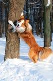 博德牧羊犬狗作用冬天年轻人 免版税图库摄影