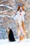 博德牧羊犬狗作用冬天年轻人 免版税库存图片