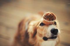 博德牧羊犬狗保留在她的鼻子的蛋糕 库存照片