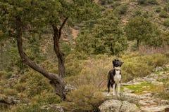 博德牧羊犬狗在一棵树下在可西嘉岛 免版税库存照片
