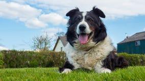 博德牧羊犬狗在德文郡英国 图库摄影