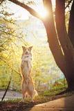 博德牧羊犬狗在阳光下站起来 库存照片