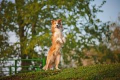 博德牧羊犬在春天背景站起来 库存图片