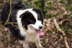 博德牧羊犬狗在森林里 免版税库存照片