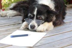 博德牧羊犬狗年长退休的眼镜 库存照片