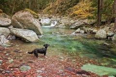博德牧羊犬狗爬式游泳在一条河在可西嘉岛 免版税库存图片
