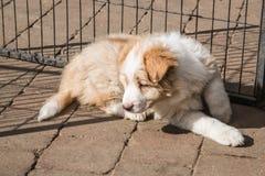 博德牧羊犬狗画象  免版税库存图片