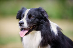 黑博德牧羊犬狗的面孔 免版税图库摄影