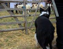 博德牧羊犬狗观看的绵羊 免版税图库摄影