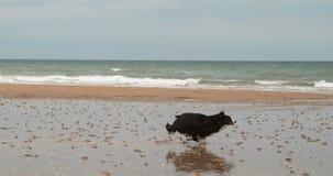 博德牧羊犬狗,在海滩的男性赛跑,诺曼底,慢动作 股票录像