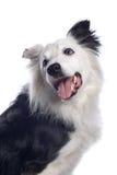 博德牧羊犬狗 免版税图库摄影