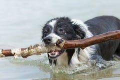 博德牧羊犬用一根棍子在水中 库存图片