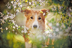 博德牧羊犬狗画象在春天 免版税库存照片
