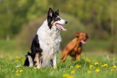 博德牧羊犬纵向 免版税库存照片